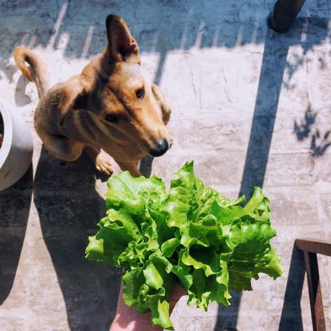 Dog Salad